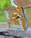 Butterfly (Limenitis Populi Ussuriensis) 1 Stock Photography - 47042452