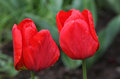 Red Tulips Royalty Free Stock Photography - 47042727