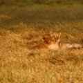 Lion Cubs Playing Royalty Free Stock Images - 47042899