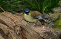 Blue Crowned Laughing Thrush Royalty Free Stock Images - 47053989