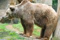 The Grizzly Bear Stock Images - 47062534
