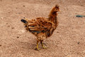 Brown Hen From A Rustic Farm Stock Images - 47066614