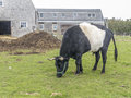A Grazing Belted Galloway Bull Stock Images - 47093884