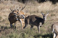 Whitetail LBuck Smelling A Doe In Heat Royalty Free Stock Image - 47113176