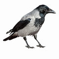 Corvus Cornix, Hooded Crow. Royalty Free Stock Photography - 47118267