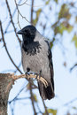 Corvus Cornix, Hooded Crow. Royalty Free Stock Photography - 47118327
