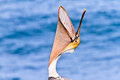 Brown Pelican Head Throw Royalty Free Stock Photo - 47130795
