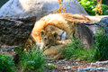 Baby Lion Stock Image - 47130891