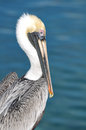 Pelican Royalty Free Stock Photography - 47144007