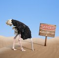 Scared Ostrich Burying Head In Sand Under Danger Stock Images - 47148104