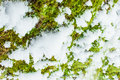 Background Texture Of The Moss On The Bark Of A Tree With Snow In The Bright Winter Day Stock Images - 47151904