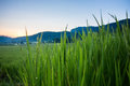 Green Paddy Rice Fields Of Agriculture Stock Image - 47155891