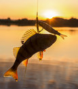 Perch And Bait Royalty Free Stock Image - 47165606