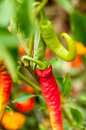 Red And Green Chilli Peppers Growing In The Garden Royalty Free Stock Photography - 47166957