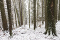Straight Trees Covered In Snow Royalty Free Stock Photo - 47175225