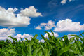 Green Corn Field Blue Sky In Summer Stock Photo - 47178260