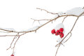 Twig With Red Berries In Winter Royalty Free Stock Photos - 47190058