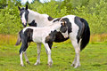 Paint Mare And Foal Stock Images - 47194794