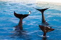 Tails Of Killer Whales Stock Photo - 4720050