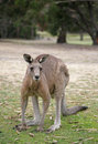 Western Grey Kangaroo Royalty Free Stock Photos - 4726368