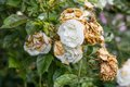 Wilted White Roses In Late Summer Royalty Free Stock Photos - 47211558