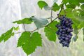 Grapes Royalty Free Stock Images - 47228099