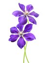 Clematis Flowers Stock Image - 47246181