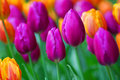 Tulips Royalty Free Stock Image - 47250546