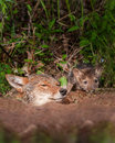 Coyote (Canis Latrans) And Pup Peek Out Of Den Stock Photos - 47254263