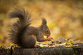 Red Squirrel In Winter Colours Royalty Free Stock Photos - 47255538