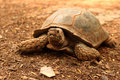 Crawling Tortoise In The Nature Stock Photo - 47274020