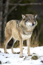 Wolf Standing In The Cold Winter Forest Stock Photo - 47287240