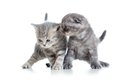 Two Funny Young Cat Kittens Play Together Stock Image - 47287261
