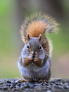 Squirrel Stock Photography - 47296052