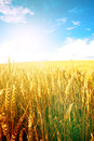 Wheat In The Early Morning Sun With Blue Sky In Background Stock Image - 47298991