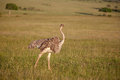 Ostrich  Walking On Savanna In Africa. Safari. Royalty Free Stock Images - 47324269