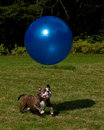 Dog Play With A Big Blue Ball Stock Images - 47327514