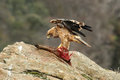 Young Imperial Eagle Feeds Into The Rock. Stock Images - 47331674