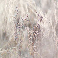 Frozen Branches With Buds, Plants. Nature In Winter. Royalty Free Stock Images - 47339739