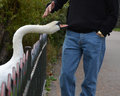 Swan Attack Stock Images - 47351714