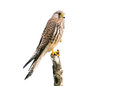Common Kestrel Isolated On White Background Royalty Free Stock Photos - 47356638