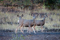 Mule Deer With Young Stock Image - 47375271