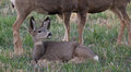 Young Mule Deer Laying On The Ground Royalty Free Stock Photo - 47375285