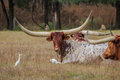 Exotic Long Horned Cattle Royalty Free Stock Photos - 47379848
