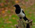 The Eurasian Magpie, Pica Pica In The Fall Royalty Free Stock Images - 47387209
