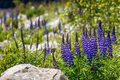 Majestic Mountain With Llupins Blooming, Lake Tekapo, New Zealand Royalty Free Stock Images - 47395889