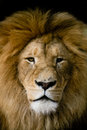 Lions Stock Image - 4745831