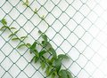 Vine On A Fence Stock Photography - 47414272