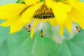 Bee And Sunflower Royalty Free Stock Photography - 47414727