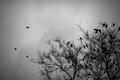 A Lot Of Crows Sitting On Leafless Tree. Black And White Stock Image - 47441561